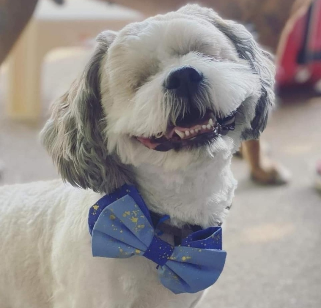 blind dog with bow tie
