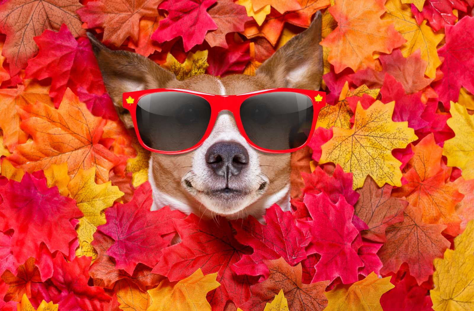 funny dog looking at you with red sunglasses on while buried in maple leaves