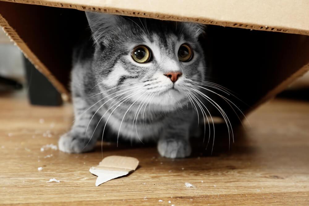 grey cat hiding under a cardboard box