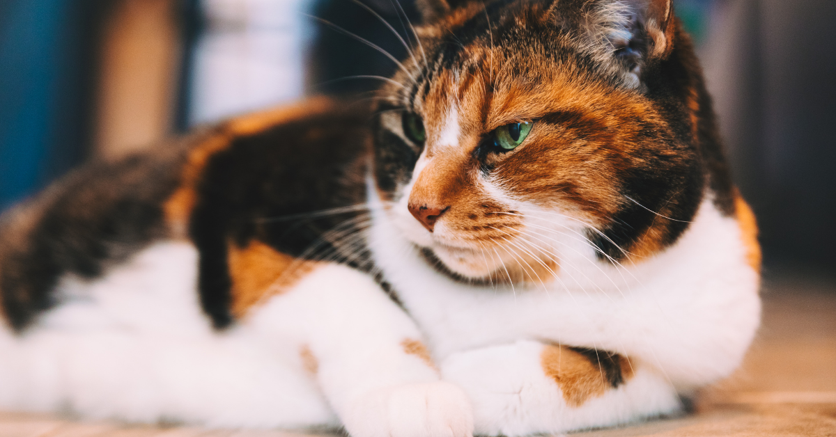 A calico cat.  Notice the more distinctive patch of mostly white around the belly and face.