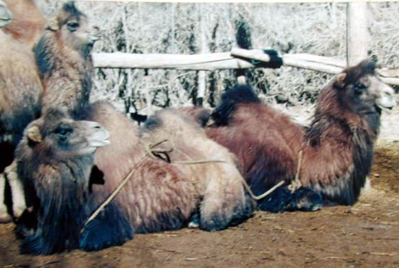 Demonstration of how the females are restrained using ropes tied around the fore and hind legs when they are in the recumbent position.