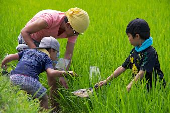 びっくりドンキー田んぼの生きもの調査2014・ナチュラルファーム黄倉(北竜町)