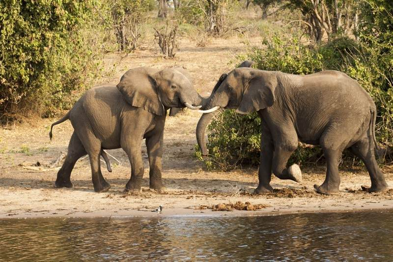 Elephant-musth-fight.jpg