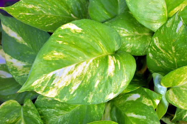 Pothos - An excellent tropical not safe for dogs.