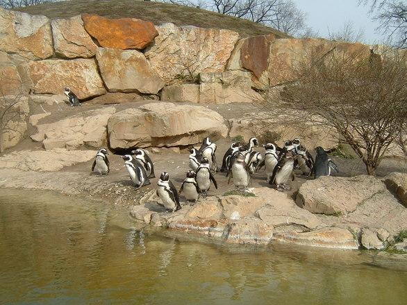 penguins-at-zoo-1372049.jpg