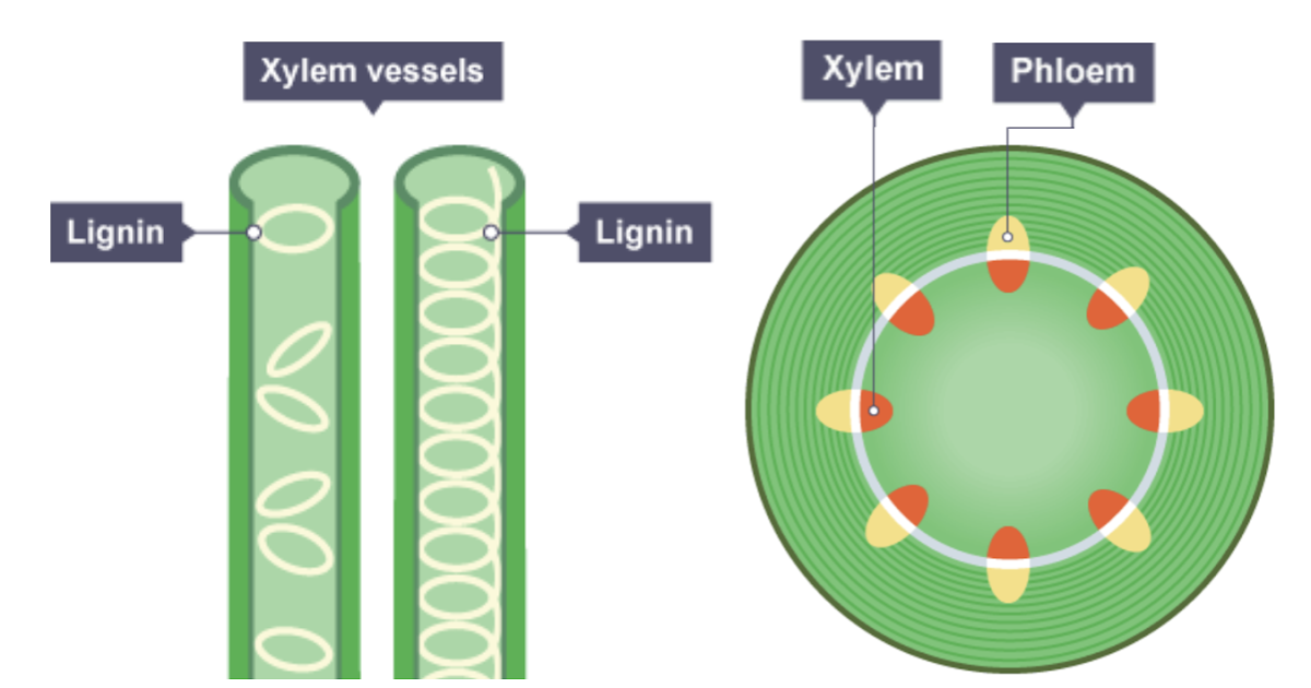 Igcse Biology Notes  2 52  Describe The Role Of Xylem In