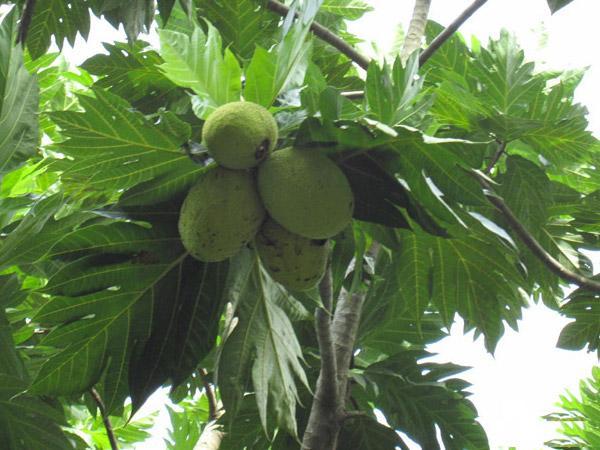 Các loại lá cây chữa bệnh tiểu đường hiệu quả  - Ảnh 3