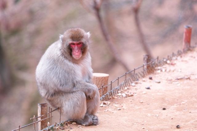Autumn in Kyoto and a monkey at Arashiyama monkey park Iwatayama