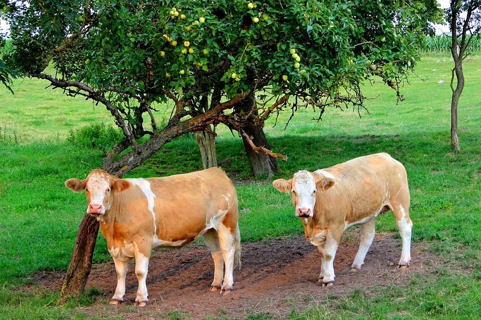 Kor, Boskap, Betesmark, Jordbruk, Mjölkkor, Landskap