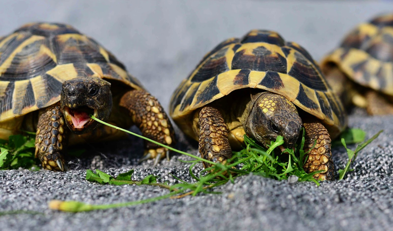 Small tortoises eating