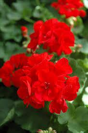 :Plant Images:Geraniums Red.jpg