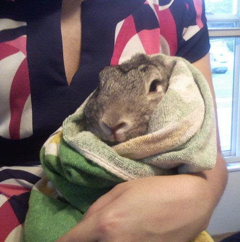Wrap rabbit in towel to clip nails