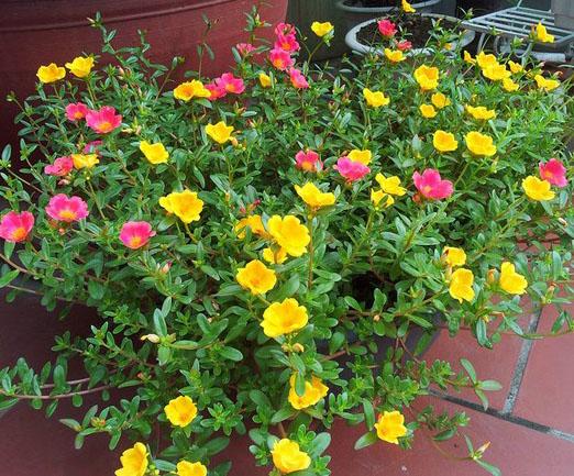 trồng hoa mười giờ sam với hệ thống tưới tự động