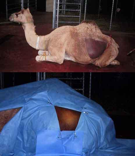 Operación cesárea en la camella: Preparación de la zona quirúrgica.