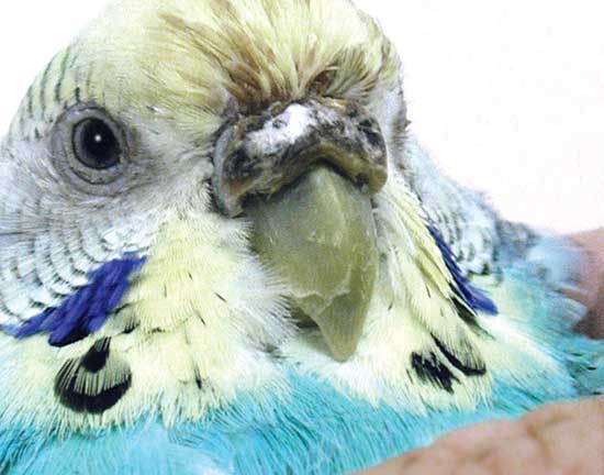 A malnourished female budgerigar with rhinal discharge over a hyperkeratotic cere
