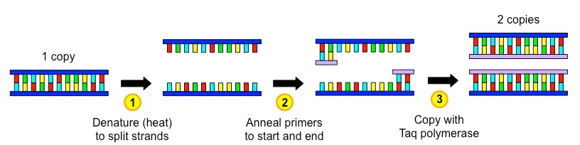 An illustration of a single PCR cycle.