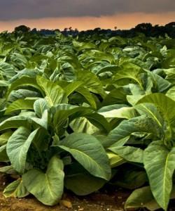 tabaco-transgenico-no-florece-250x300