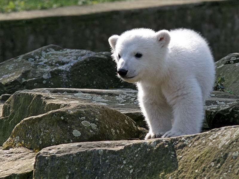 Кнут Берлинского зоопарка