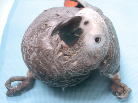 An African grey parrot (Psittacus erithacus) with suspected Sarcocystis infection of the central nervous system exhibits torticollis and bilateral clenched claws