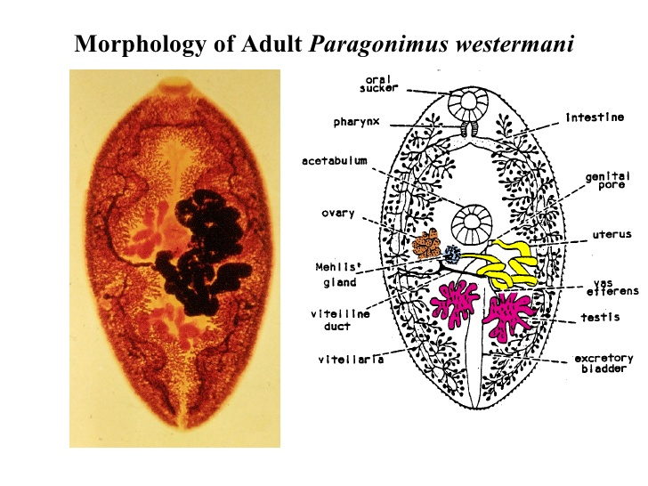 Adult paragonimus westermani worm