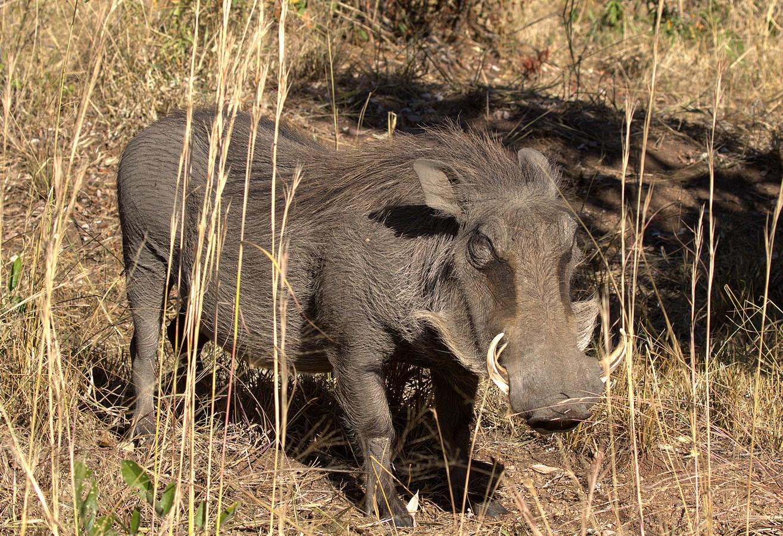 warthog (Copy).jpg