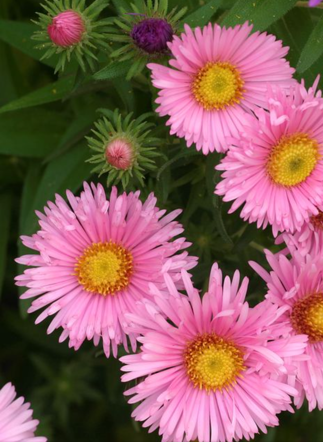 Exotic Flowers-Asters