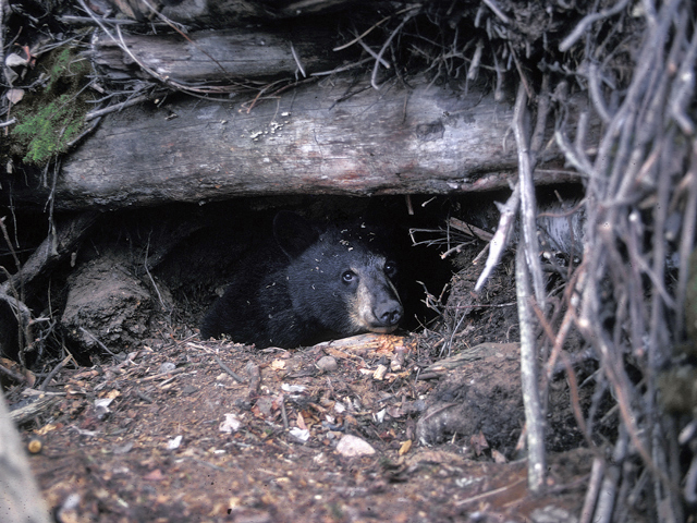 black bears in missouri missouri 39 s natural heritage. Black Bedroom Furniture Sets. Home Design Ideas