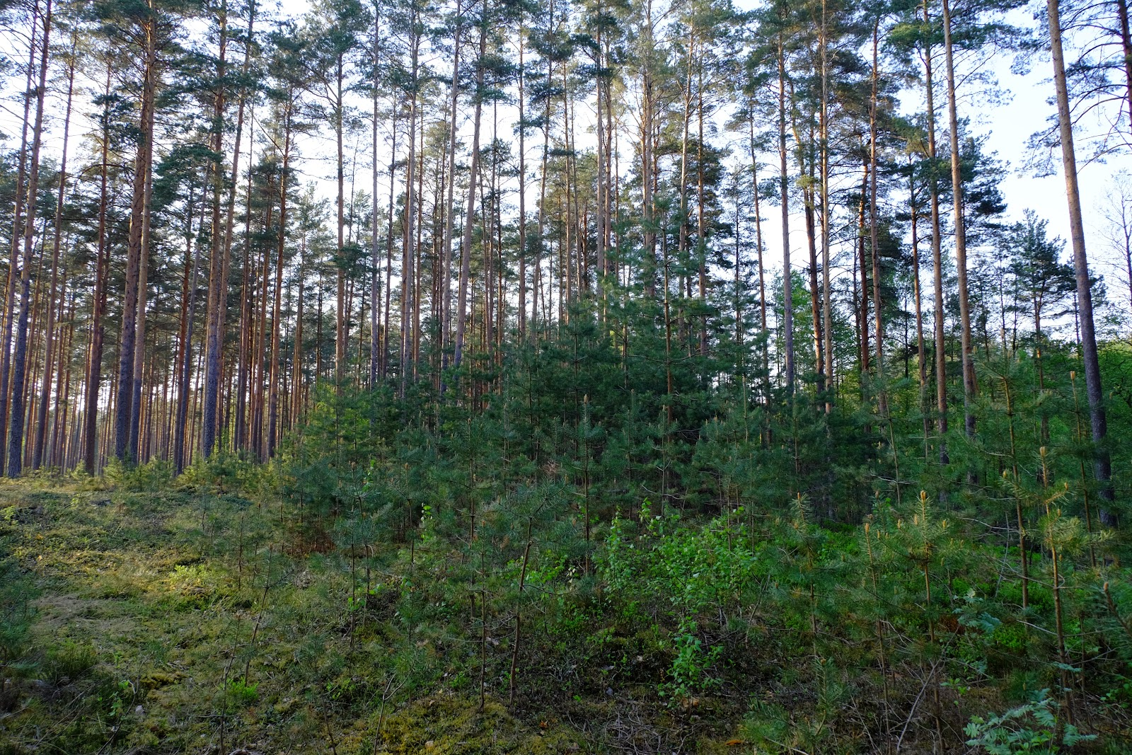 Püsimetsana majandatav mets Setomaal. Foto: L. Kuresoo