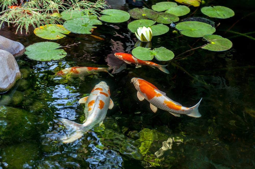 Lake Maintenance Advice - Preventing The Buildup of Algae 1