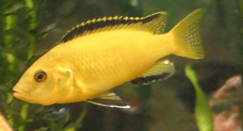 File:Electric Yellow Lab Cichlid.jpg