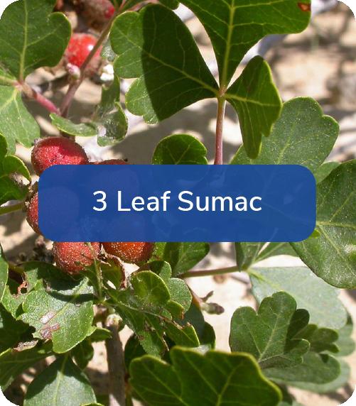 3 leaf sumac
