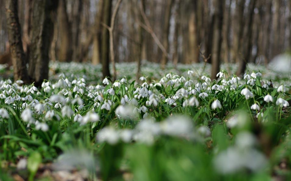 де цвітуть проліски та підсніжники де подивитися