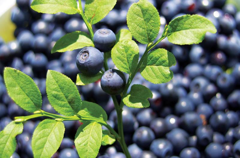large_bilberry.jpg