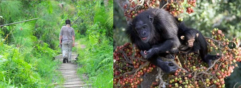 Image result for primates at bigodi