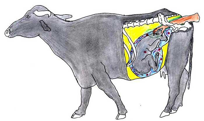 Examen transrectal de búfala preñada de 8 a 10 meses. Las partes fetales pueden palparse y se puede estimular el movimiento del feto presionando el globo ocular o pellizcando la nariz del feto a través de la pared rectal.