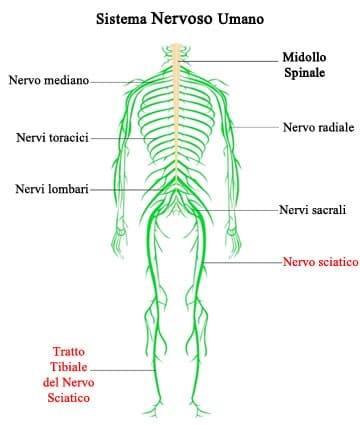 descrizione del ruolo del nervosciatico in relazione al sistema nervoso per capire i sintomi della lombosciatalgia fonte: Shutterstock