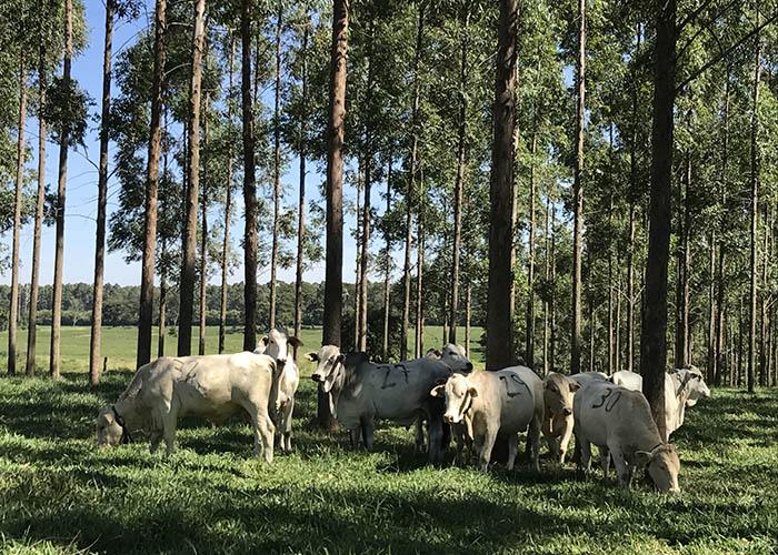 Integração lavoura-pecuária-floresta aumenta a produção e gera economia de recursos hídricos (Fonte: Embrapa/Reprodução)