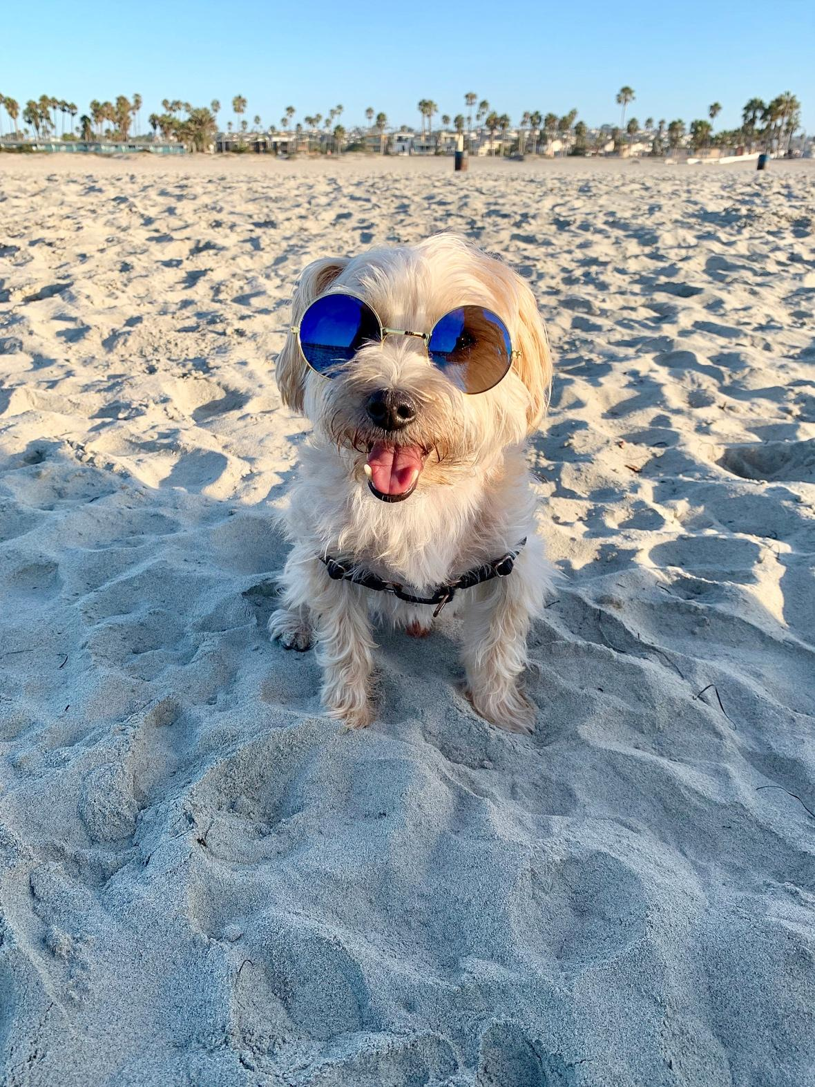 small dog maltese Yorkshire terrier travel to San Diego beach holiday in the sand sunglasses