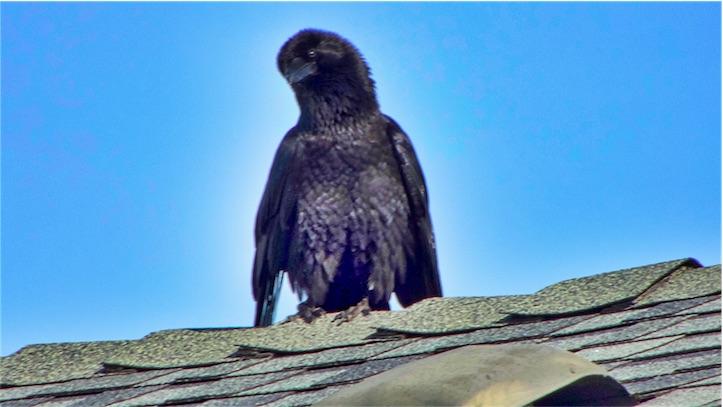 Baby Raven.jpg