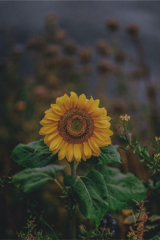 Profundidade de campo - Girassol - razões para aprender a fotografar no modo manual
