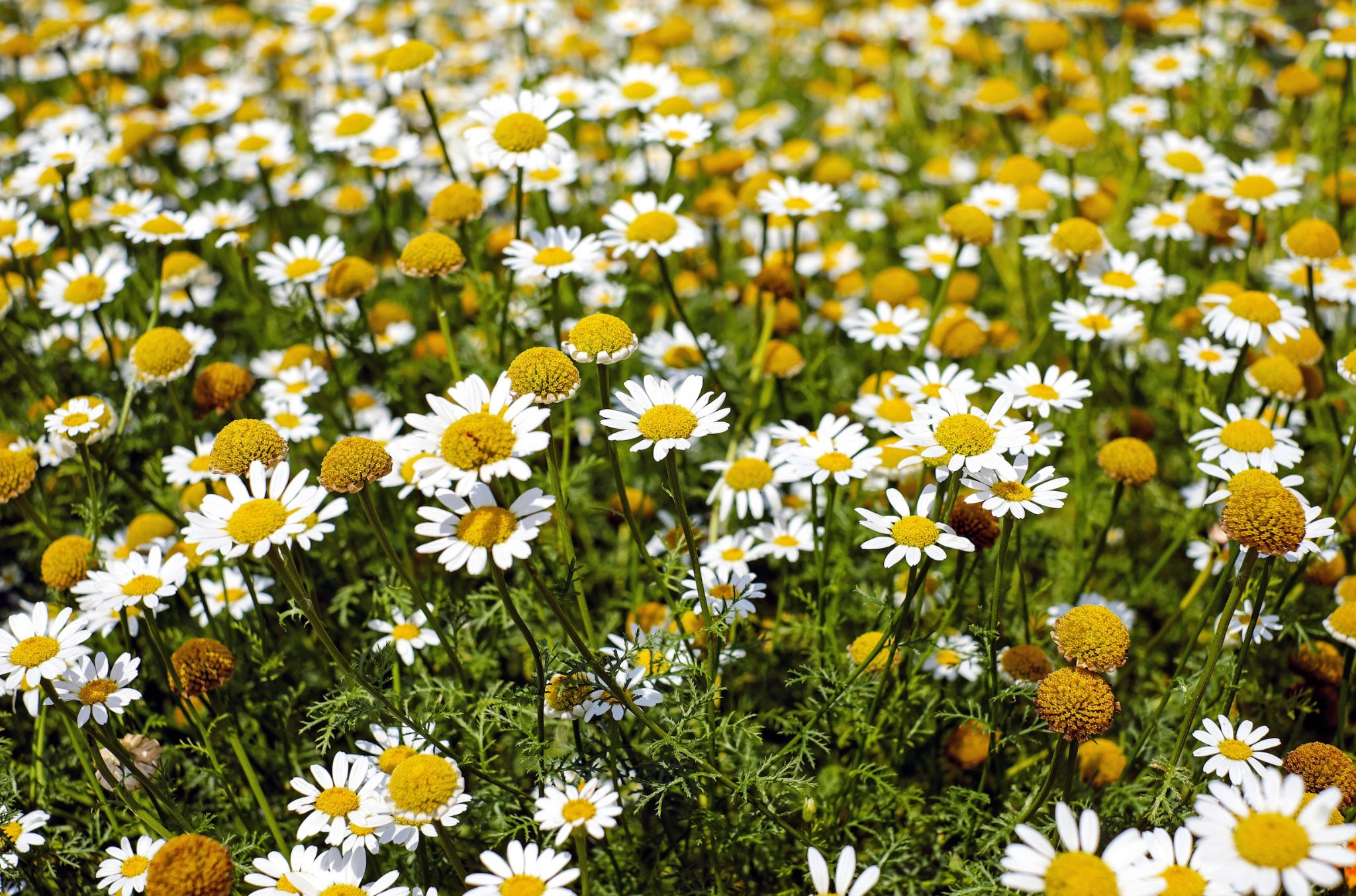 Herbs for Dogs Chamomile
