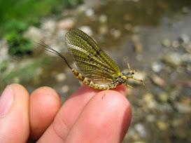 Майска муха (Ephemera Danica) - възрастно насекомо