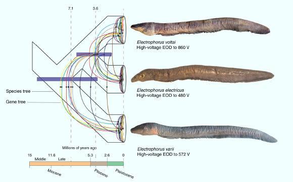 Electrophorus tree of life, time of species diversification and voltage measurements. Image credit: de Santana et al, doi: 10.1038/s41467-019-11690-z.