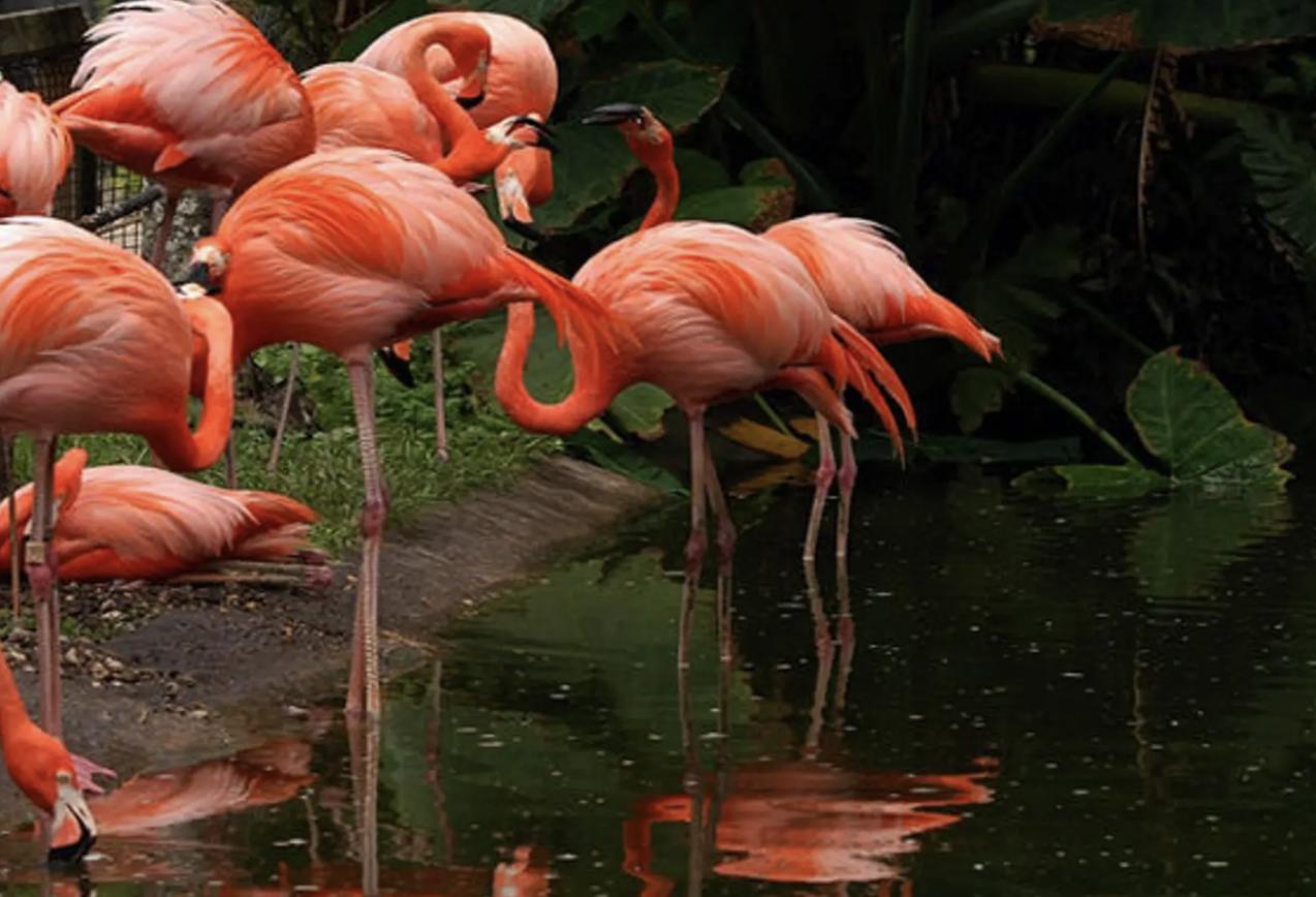 Multiple flamingo's up close, standing around in the Flamingo gardens.