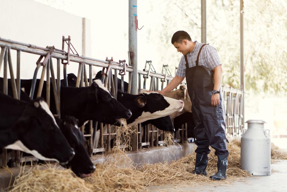 Suplementação nutricional é importante para vacas em período de lactação, principalmente na criação intensiva. (Fonte: Shutterstock/TORWAISTUDIO/Reprodução)