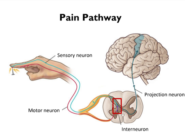 The Pain Pathway - HUMAN LIMITS