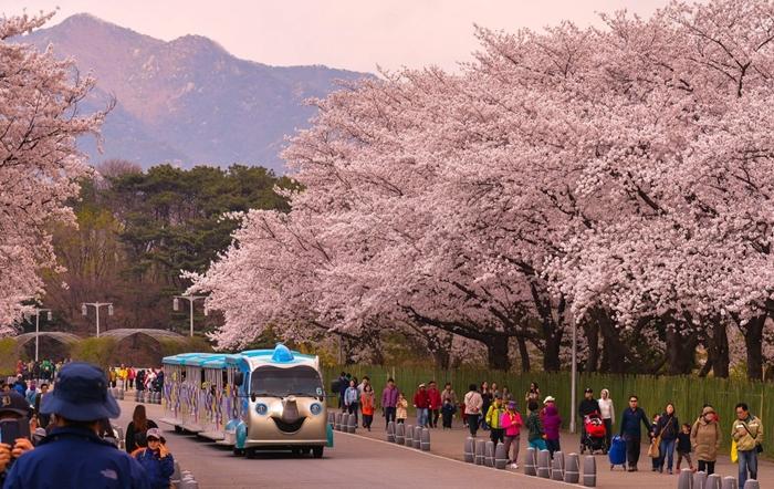 Những điểm ngắm hoa anh đào Hàn Quốc đẹp nhất ở Seoul