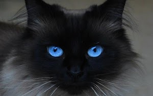 Are blue-eyed cats colorblind
