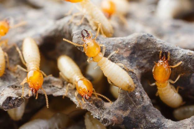 , Home:  Debunking the Myths and Mythologies of Termites