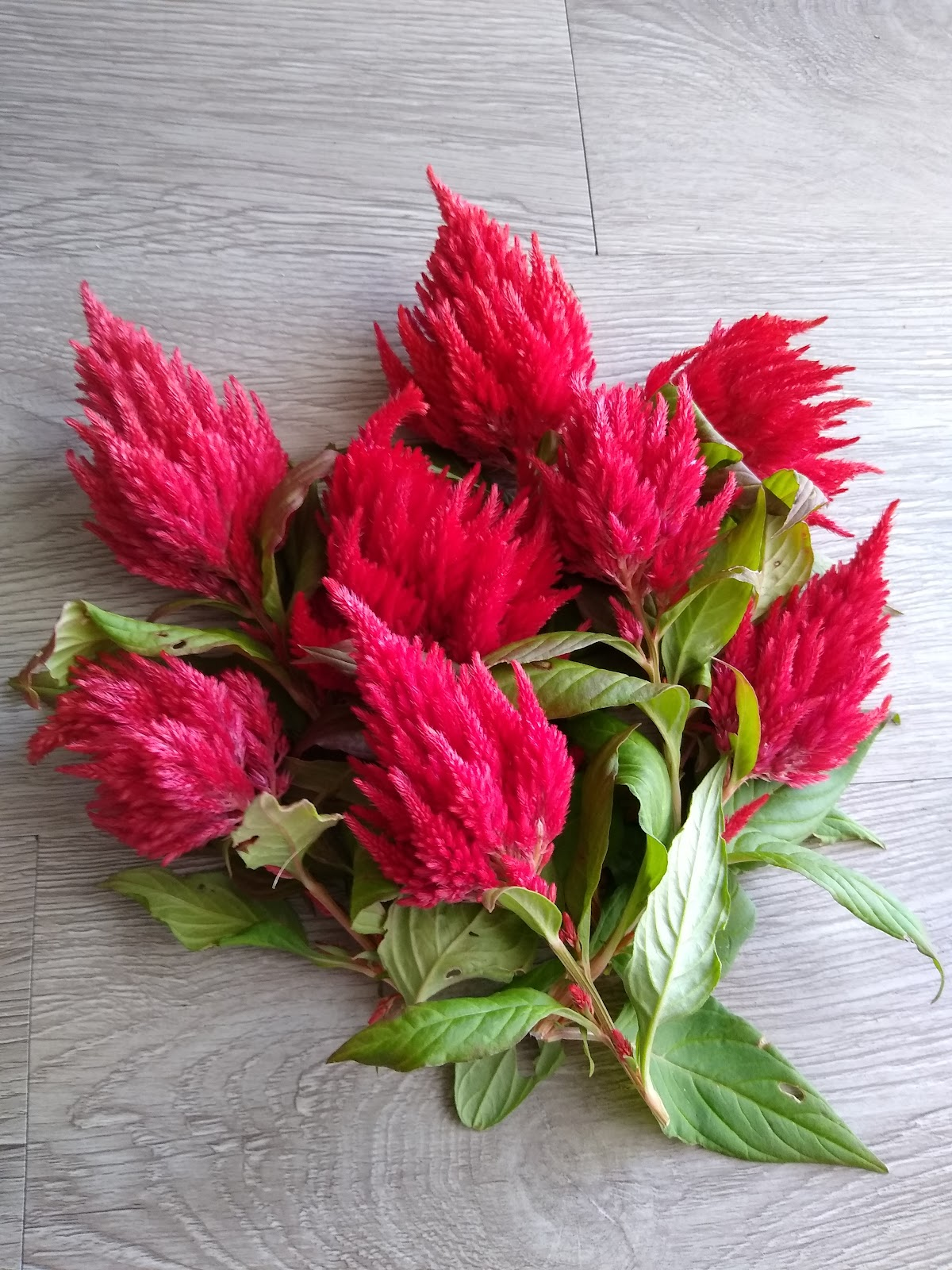 harvested celosia picture